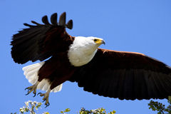 African Fish Eagle - Botswana Stock Photo