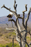 African Fish Eagle calling Royalty Free Stock Photo