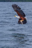 African Fish Eagle With Captured Fish. An African Fish Eagle, having caught a Tilapia fish from Lake Victoria.  Its gigantic wings are pulling the Eagle free Stock Photography