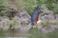 African Fish-Eagle catching a fish Stock Photography