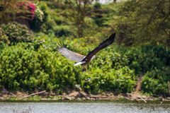 African fish eagle catching a fish Royalty Free Stock Images