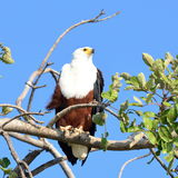 Fish eagle Stock Images