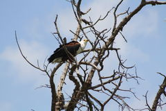 African fish eagle crouched Royalty Free Stock Images