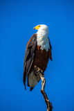 African Fish Eagle on a dry tree Royalty Free Stock Photo