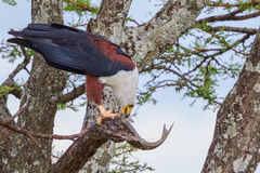 African Fish Eagle Eating Live Catfish. An African Fish Eagle had caught a large Catfish in one of the streams in Kenya's Olare Orok Conservancy and flown high Stock Photos