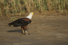 African Fish Eagle with fish Stock Image