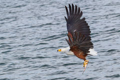 African Fish Eagle With Fish, In Flight. An African Fish Eagle, flying over Lake Victoria with a captured Tilapia in its talons Stock Images