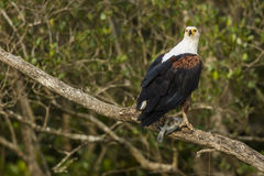 African Fish Eagle with fish South Africa Stock Photography