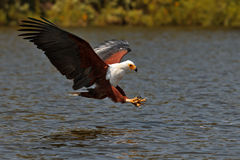 African fish-eagle fishes on the Lake Naivasha Royalty Free Stock Image
