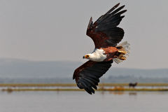 African fish-eagle flies over the lake Stock Photos
