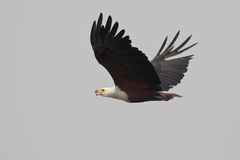 African fish eagle in flight. Stock Images