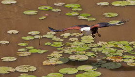 African Fish Eagle in flight. An African Fish Eagle (Haliaeetus vocifer) flys over the surface of a lagoon at Shimba Hills nature reserve in Kenya stock images