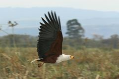 African fish eagle in flight. Photos of an african fish eagle by a lake Royalty Free Stock Photo