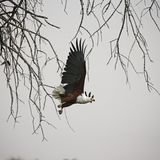 African Fish Eagle in flight. One of Africa`s largest eagles flying talons at the ready to catch a meal royalty free stock image