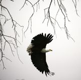 African Fish Eagle in flight. One of Africa`s largest eagles flying talons at the ready to catch a meal royalty free stock photography
