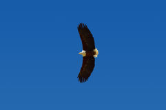 African Fish Eagle in Flight, South Africa Stock Photos