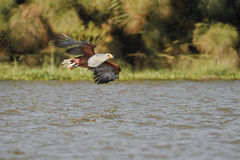 African fish eagle fly Stock Image