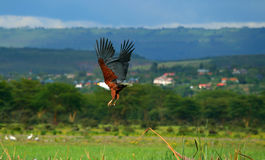 African fish eagle flying Stock Photography