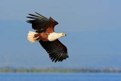 African Fish Eagle flying against blue sky Royalty Free Stock Images