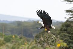 African Fish Eagle flying Royalty Free Stock Images