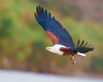 African Fish Eagle flying Royalty Free Stock Image