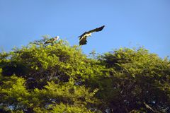 African Fish Eagle flying from tree at Lewa Conservancy, Kenya, Africa Stock Photography