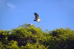 African Fish Eagle flying from tree at Lewa Conservancy, Kenya, Africa Stock Photos