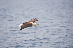 African Fish Eagle (Haliaeetus vocifer) Royalty Free Stock Photo