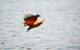 African Fish Eagle (Haliaeetus vocifer) Stock Images