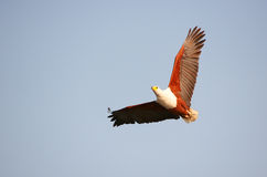 African Fish Eagle (Haliaeetus vocifer) Royalty Free Stock Images