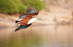 African Fish Eagle (Haliaeetus vocifer) Royalty Free Stock Photos