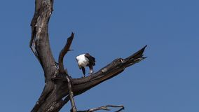 African Fish-Eagle, haliaeetus vocifer, Adult eating fish, Fishing at Baringo Lake, Kenya ,. Slow motion stock video