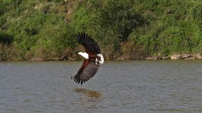 African fish-eagle, haliaeetus vocifer, adult in flight, fish in claws, fishing at Baringo Lake, Kenya. Slow motion stock video