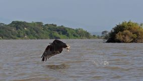 African fish-eagle, haliaeetus vocifer, adult in flight, fish in claws, fishing at Baringo Lake, Kenya. Slow motion stock footage
