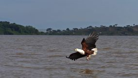 African fish-eagle, haliaeetus vocifer, adult in flight, fish in claws, fishing at Baringo lake, Kenya ,. Slow motion stock video