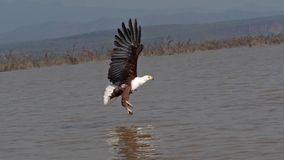African Fish-Eagle, haliaeetus vocifer, Adult in flight, Fish in Claws, Fishing at Baringo Lake, Kenya. Slow motion stock video footage