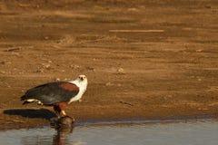 African Fish Eagle (Haliaeetus vocifer) stock photos