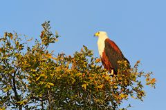 African Fish-eagle, Haliaeetus vocifer, brown bird with white head. Eagle sitting on the tree top, blue sky in the background. Wil. Dlife scene from African Stock Photography
