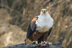 The African Fish Eagle (Haliaeetus vocifer) Royalty Free Stock Image
