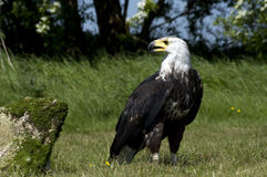 African Fish Eagle Stock Photography