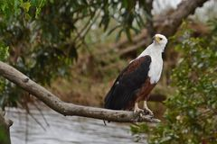 African Fish Eagle (Haliaeetus vocifer) Royalty Free Stock Image