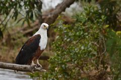 African Fish Eagle (Haliaeetus vocifer) Stock Image