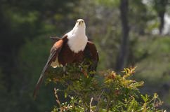 African Fish Eagle (Haliaeetus vocifer) stock photo