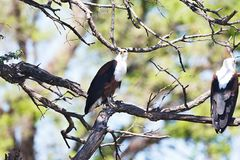 African Fish Eagle, Haliaeetus vocifer,Namibia Stock Photos