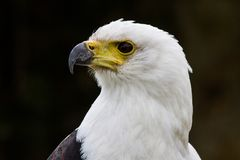 The African Fish Eagle, Haliaeetus vocifer in a nature park stock photography