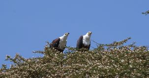 African Fish-Eagle, haliaeetus vocifer, Pair singing at the top of the Tree, Naivasha Lake in Kenya,. Real Time 4K stock video