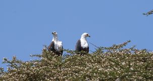 African Fish-Eagle, haliaeetus vocifer, Pair singing at the top of the Tree, Naivasha Lake in Kenya,. Real Time 4K stock footage