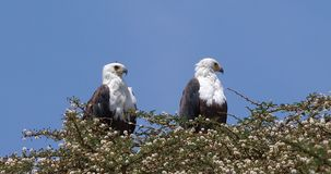 African Fish-Eagle, haliaeetus vocifer, Pair at the top of the Tree, Naivasha Lake in Kenya,. Real Time 4K stock video