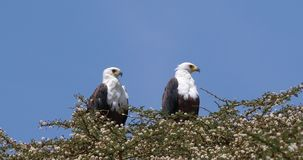 African Fish-Eagle, haliaeetus vocifer, Pair at the top of the Tree, Naivasha Lake in Kenya,. Real Time 4K stock video footage