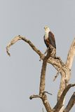 The African Fish Eagle Stock Photo